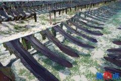 日本海带面临消失危机
