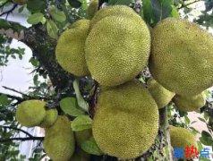 云南菠萝蜜特产