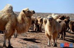 澳大利亚射杀骆驼 只因它们喝水太