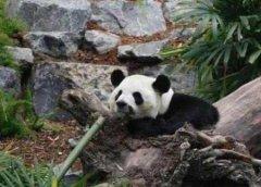 旅加大熊猫将提前归国