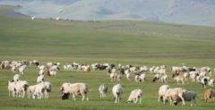 蒙古国3万只羊到中国变羊肉
