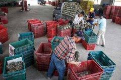 台湾菠萝降价竞争出口日本
