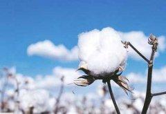 新疆棉花中国自己还不够用