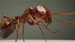 红火蚁已传播至435个县市区