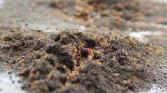 红火蚁位列最危险入侵物种