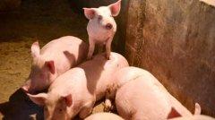 猪肉价格跌破每斤15元