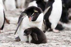 52只企鹅创收超2000万