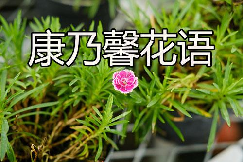 康乃馨花语(康乃馨的花语和寓意代表什么)