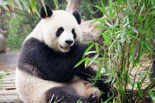 大熊猫生活在什么地方
