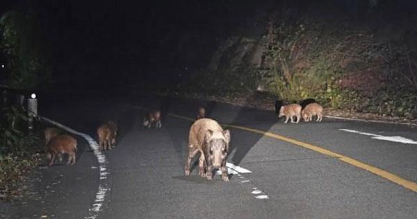 日本福岛出现放射性杂交野猪