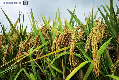 杂交水稻双季亩产破1600公斤